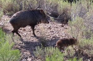 Short-sighted, smelly and agitated - Javelina pigs.